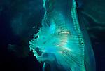 Moon Jellyfish Artisticb