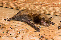 MA20-637z  Little Brown Bats, Myotis lucifugus