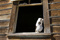animal skull in barn window, wildwest, Oregon, USA