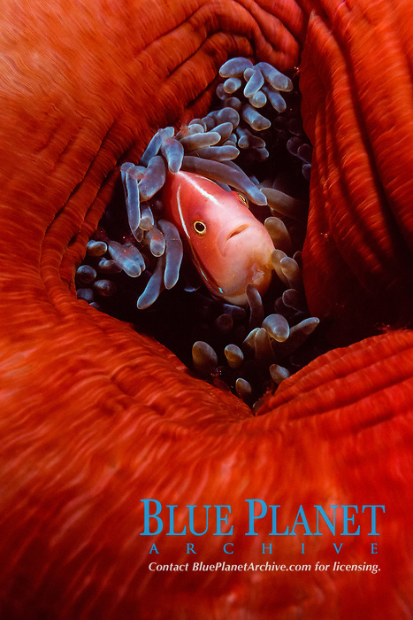 pink anemonefish, Amphiprion perideraion, Kimbe Bay, Papua New Guinea, Pacific Ocean