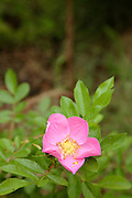 Wild Pink Dog-Rose Flowers
