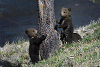 Grizzly Cubs, Yellowstone