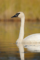Adult Trumpeter Swan (Cygnus buccinator). Central Alaska. September.