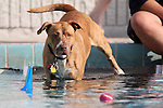 Sara Sox watches a ball at the fourth annual Pooch Plunge at the Carson Aquatic Facility in Carson City, Nev., on Saturday, Sept. 22, 2012. The Parks 4 Paws event helps raise funds for local dog projects..Photo by Cathleen Allison