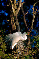 A Great Egret displays breeding plumage from its nest.