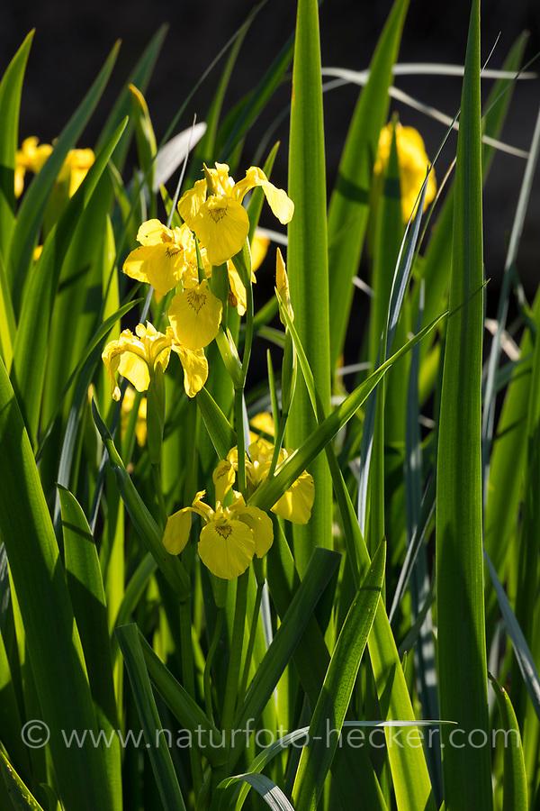 Sumpf-Schwertlilie, Sumpfschwertlilie, Schwertlilie, Gelbe Iris, Gelbe Schwertlilie, Wasser-Schwertlilie, Iris pseudacorus, Flag Iris, Yellow Flag, yellow iris, water flag, l'iris des marais, iris faux acore, iris jaune