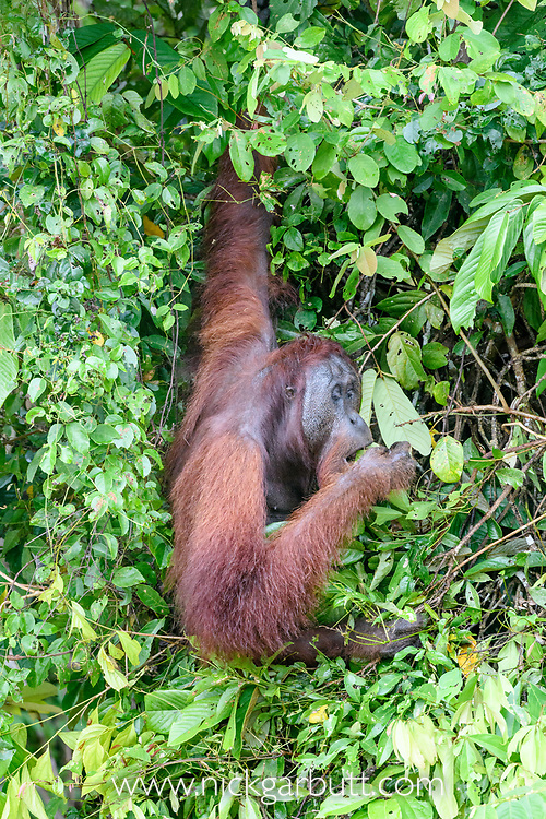 Adult male Bornean orang-utan (Pongo pygmaeus) feeding in riverine forest on the banks of the Kinabatangan River, Sabah, Borneo.
