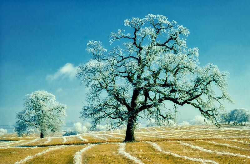 Oak trees covered in frost. Near Elmira, Oregon.