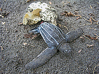 leatherback sea turtle hatchling, Dermochelys coriacea, hatching from egg, Dominica, Caribbean, Atlantic Ocean