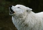 Howling gray wolf, Minnesota