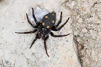 Zeltdachspinne, Zeltdach-Spinne, mit Beute, Uroctea durandi, Oecobiidae, Scheibennetzspinnen, Kroatien, Croatia