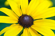 Black Eyed Susan-Rudbeckia hirta-during the summer months in the White Mountains, New Hampshire.