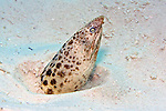 Callechelys guineensis, Short-tail snake eel, Bonaire