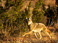 Coyote's are sly animals and usually move in and out quickly. They are wise and difficult to photograph. Once they suspect a human near they are gone.