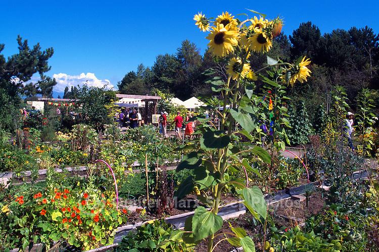 Terra Nova Rural Park, Richmond, BC, British Columbia, Canada - Sunflowers (Helianthus) in bloom at the Terra Nova Community Garden