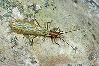 Steinfliege, Isoperla spec., Stonefly