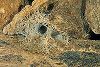 Köcherfliege, Netz der Larve unter Wasser, Plectrocnemia conspersa, Köcherfliegen, caddisfly, larva, sedge-fly, rail-fly, caddisflies, sedge-flies, rail-flies, Trichoptera