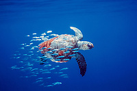 loggerhead sea turtle, Caretta caretta, with juvenile jacks, Baja California, Mexico, Gulf of California, Sea of Cortez, Pacific Ocean