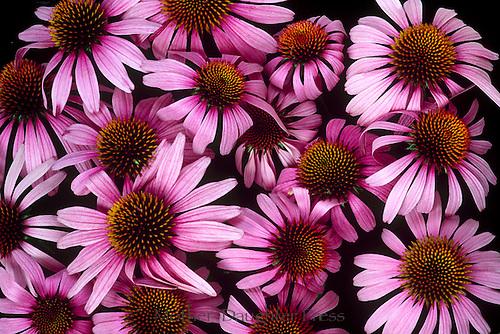 Bouquet of Echinacea purpurea or coneflower a medicinal plant and garden favorite, Vermont USA