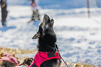 Sled dog howls during a rest stop in the 2015 Iditarod Race, Manley Hot Springs checkpoint, Interior, Alaska.
