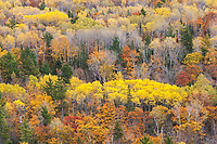 Blazing yellow aspens in a hardwood forest, Keewenaw Peninsula, Upper Michigan.
