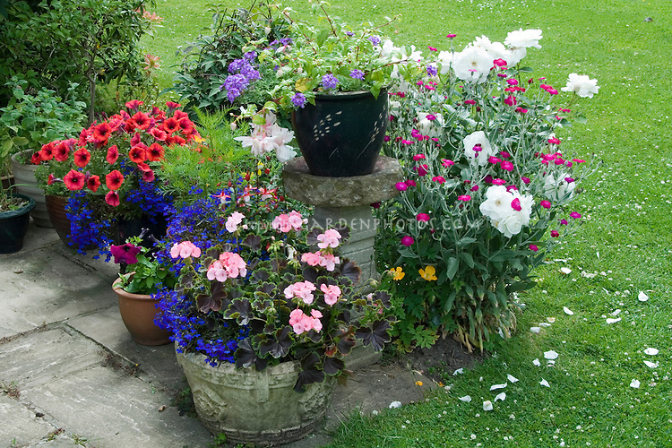 Summer garden annuals in pots with white roses