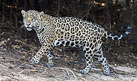 We were fortunate to see multiple jaguars nearly every time we went out on the river.