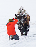This photographer isn't making the wisest decision. The bison is the park's most dangerous animal, and park visitors are required to stay a minimum of 25 yards away from them. With a longer lens, this person could easily achieve the same type of shot from a safe and legal distance.