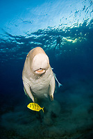 Dugong, Sea Cow, swimming up to the surface to breathe, Gnathanodon Speciosus, snorkeler, Egypt, Red Sea, Indian Ocean