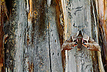 One-eyed sphinx moth, Glacier National Park, Montana