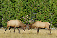 Rocky Mountain Bull Elk (Cervus elaphus) sparring--battling over cows during fall rut.  Western U.S., Sept.