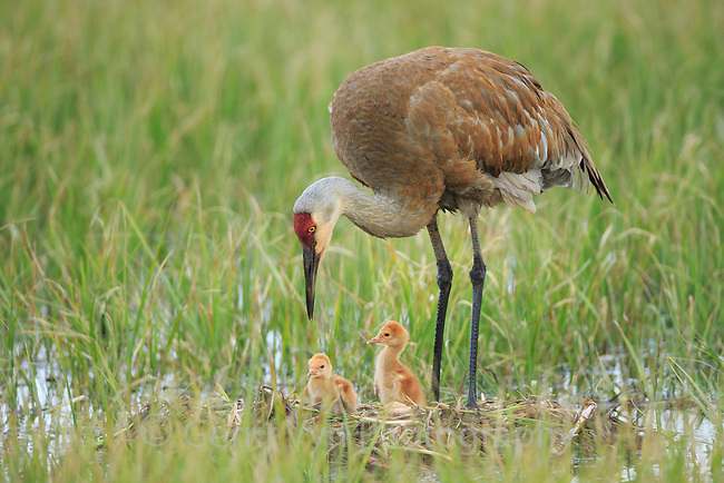 Sandhill Crane (Grus canadensis) with two newly hatched chicks on a nest in a flooded pasture. Adult cranes actively teach or show their chicks food items to consume. Sublette County, Wyoming. May.