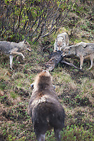 Cow moose attempts to chase wolves from feeding on her calf that was just killed by the Grant Creek wolf pack in Denali National Park.