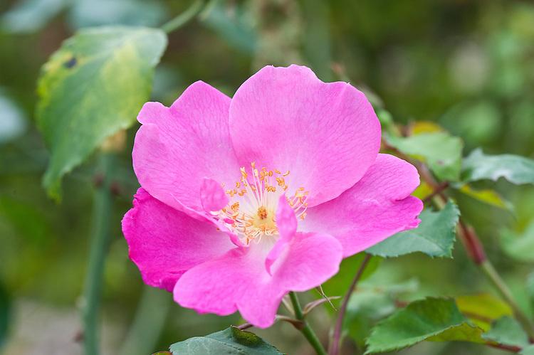 Hybrid musk rose 'Vanity', early October.