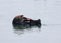 A sea otter (Enhydra lutris nereis) with an injury possibly a propeller cut on the flipper, Moss Landing in the Monterey Bay National Marine Sanctuary.