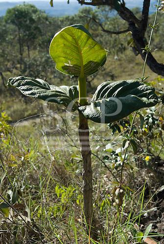 Brasilia, Brazil. Chapada Imperial, private cerrados reserve visitor centre. Tough, drought-resistant cerrados plant.