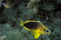shy hamlet, Hyploplectrus guttavarius, Bahamas, Caribbean (Western Atlantic Ocean)