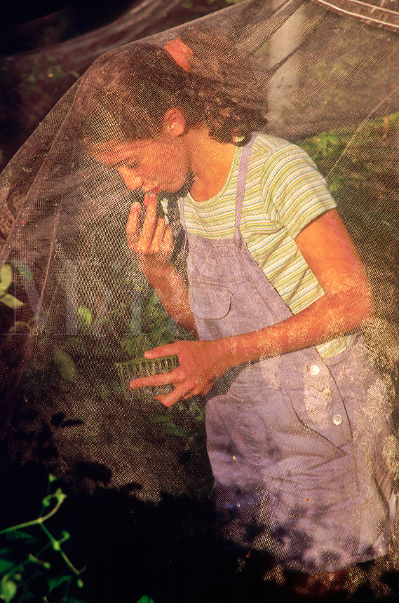 Girl picking and eating blueberries under protective netting.