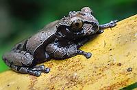 Coronated Tree Frog (Anotheca spinosa) Costa Rica.