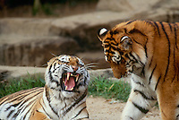 Bengal Tigers, one tiger bares her teeth and warns the other, she has had enough