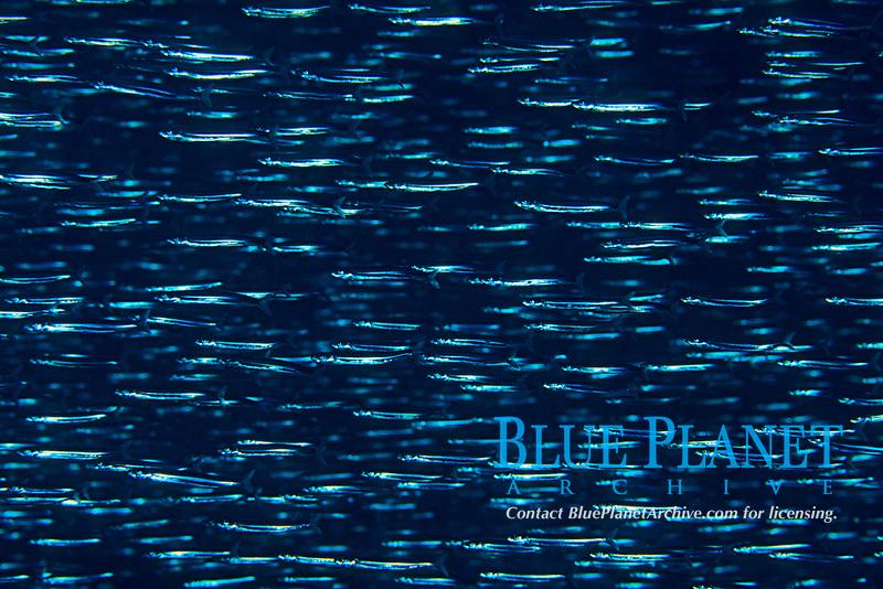 Silver-stripe round herring, Spratelloides gracilis, Izu ocean park, Sagami bay, Izu peninsula, Shizuoka, Japan, Pacific Ocean
