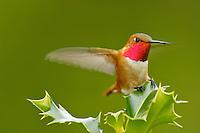 Male Rufous Hummingbird sitting atop holly bush.  Pacific Northwest.