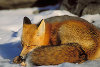 Red fox (Vulpes vulpes) resting in winter.
