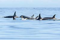 killer whale, or orca, Orcinus orca, southern resident orca, with calf, J-Pod, J-4 Matrilene, Salish Sea, British Columbia, Canada, Pacific Ocean