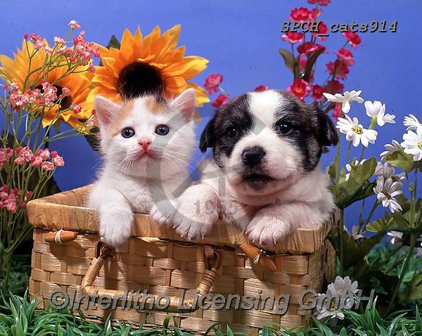 Xavier, ANIMALS, REALISTISCHE TIERE, ANIMALES REALISTICOS, cats, photos+++++,SPCHCATS914,#a#, EVERYDAY