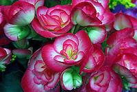 Flores Begônia ( Begonia bowerae). SP. Foto de Manuel Lourenço.