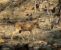 Axis-Hirsch im Ranthambhore Nationalpark, Rajasthan, Indien