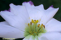 HS70-004e  Flower Reproduction - Lisianthus - stamens, pollen and pistil -  Lisianthus spp