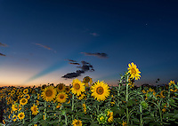A field of sunflowers of at dusk in Haleiwa, O'ahu.