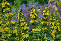 Lysmachia punctata 'Alexander' yellow flowering Loosestrife in Alaska Botanical Garden, Anchorage